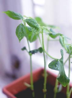 haricot en pot entretien