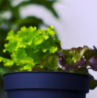 laitue en pot exposition arrosage