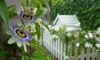 passiflore fleur grimpante