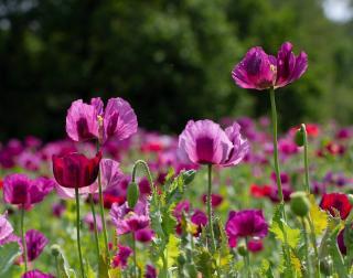 pavot en fleur