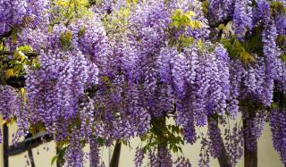 plante grimpante parfumée glycine wisteria
