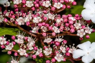 viorne de sargent arbuste - Viburnum sargentii Onodonga