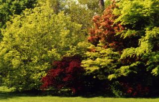 Pieris, Acer palmatum pourpre