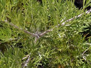 Aurone - Artemisia abrotanum - culture entretien