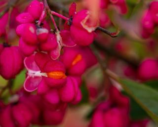 Euonymus europaeus - fusain europe - fruit comestible ou toxique