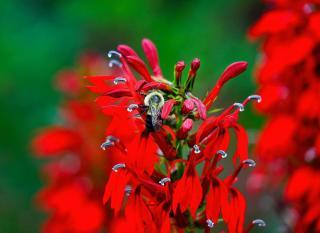 Lobelia cardinalis vivace