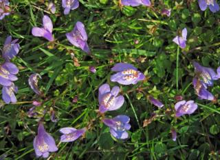Mazus reptans plante
