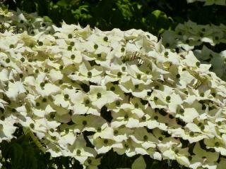 Plantation cornouiller du japon - Cornus kousa