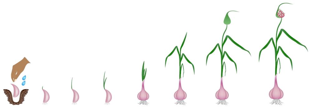 Plantation culture ail en pot