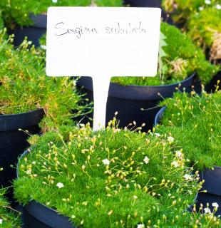 Sagina subulata- sagine subulee - Plantation