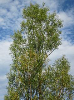 Saule blanc - Salix alba - Plantation