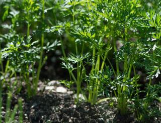 carotte en pot entretien