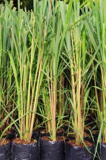 citronnelle plantation