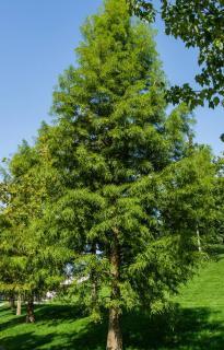 cypres chauve plantation