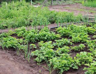 legumes pour potager sol terre acide