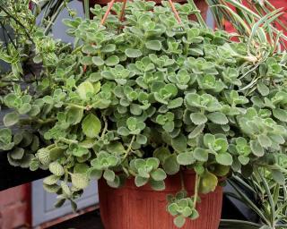 Ballota Ballote plante