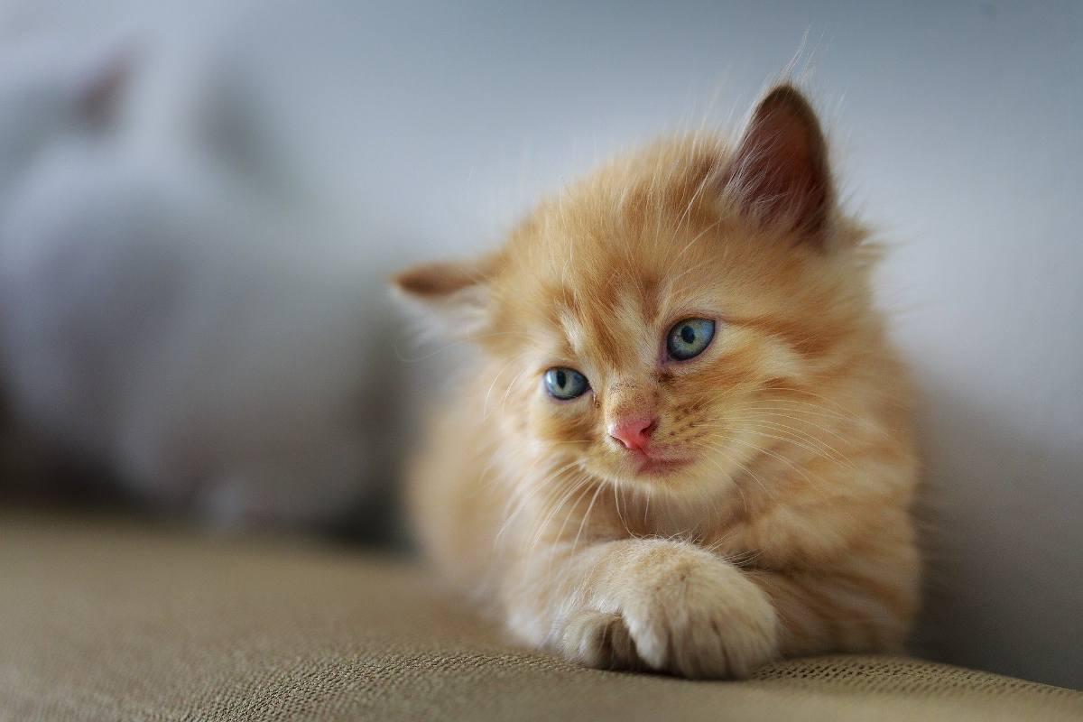 Blocage urinaire du chat