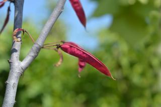 Cercis siliquastrum - arbre de judee fruit gousse