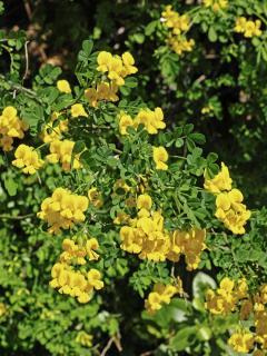 Coronille arbuste