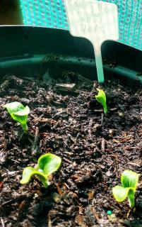 Courgette en pot planter plantation