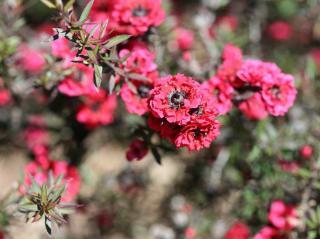 Leptospermum - Arbre a thé