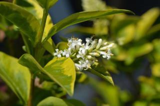Ligustrum ovalifolium - troene de californie
