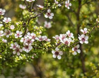 Manuka - Leptospermum - Arbre a thé