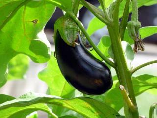 Meilleure exposition pour aubergine