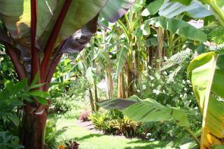 Bananier Musa sikkimensis