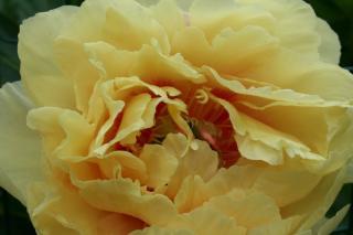Paeonia lactiflora Garden Treasure