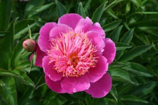 Pivoine - Paeonia lactiflora rose