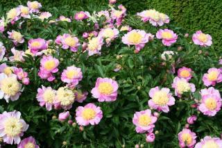 Pivoine_Paeonia 'Bowl of Beauty