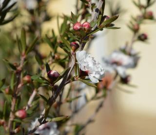 Plantation Leptospermum - Arbre a thé