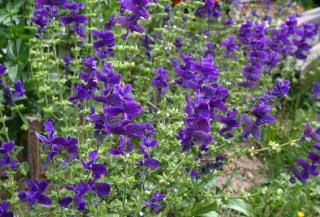 Salvia horminum hormina
