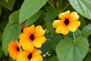 Suzanne aux yeux noirs - Thunbergia alata