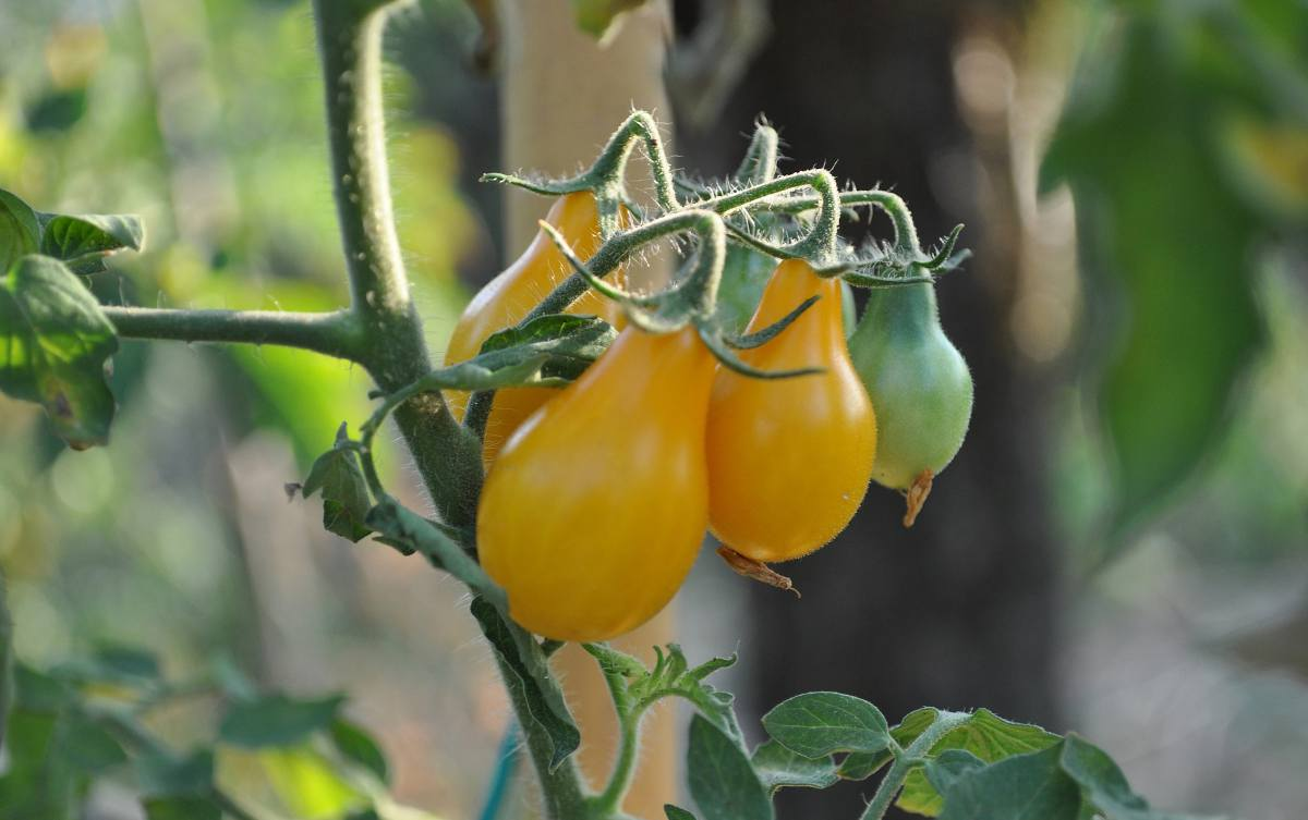 Tomate Yellow Pearshaped