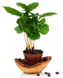 cafeier plantation
