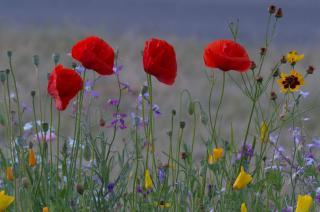 fleur annuelle facile rapide