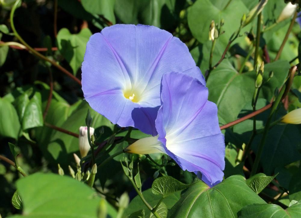 plante annuelle fleur brise vue
