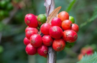recolte café fruit rouge