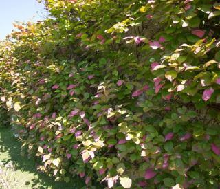 Actinidia kolomitka feuilles roses