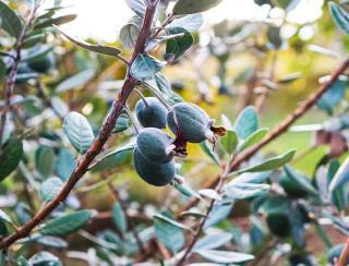 Feijoa fruit mure recolte