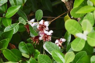 Feijoa plantation