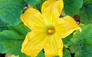 Fleur de courgette comestible