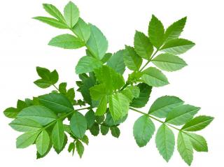 Fraxinus excelsior - feuille feuillage