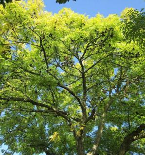 Fraxinus excelsior - frene commun