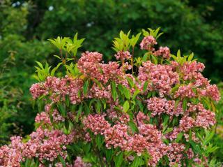 Kalmia latifolia - laurier des montagnes