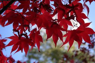 Acer rubrum ombre