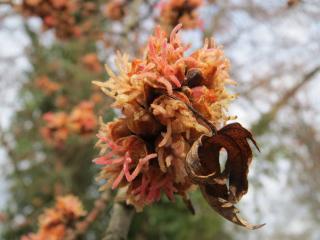 Acer saccharinum fleur