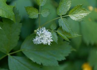 Actaea - Herbe de saint christophe